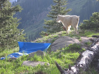 A mountain goat watches the sun set from a spot next to my bivvy sack in Chicago Basin
