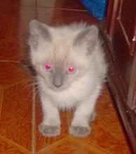 Audi (Ragdoll) - Adoptado pela Susana! (Julho 2009)