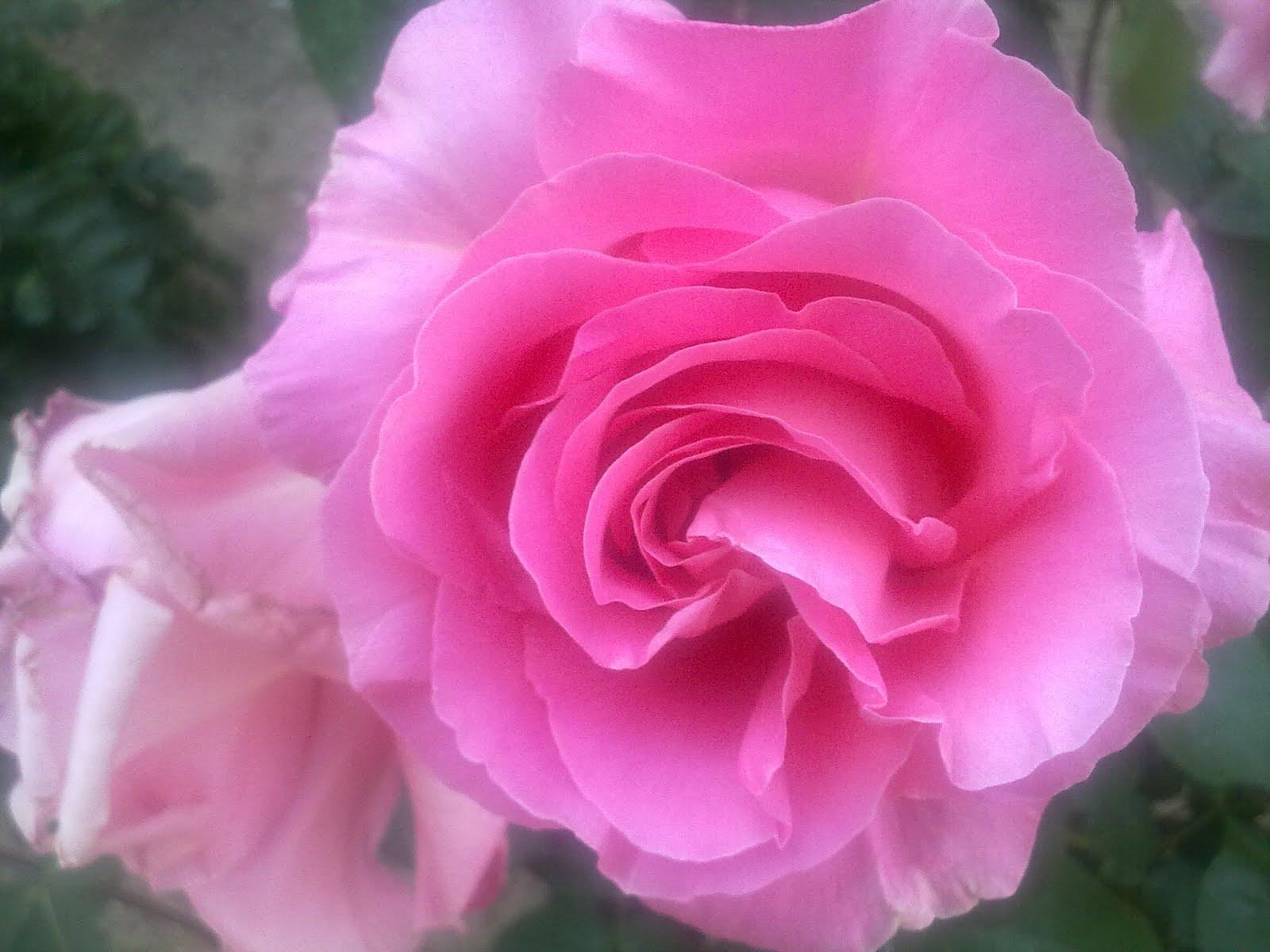 El buen comer flores bonitas rosas - Rosas rosas hermosas ...