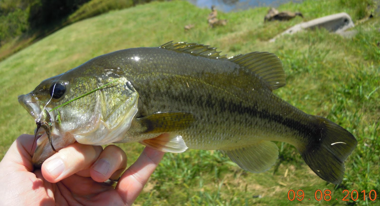 Small grass carp for White amur fish