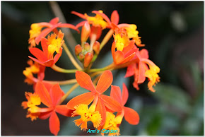 Epidendrum Orchid