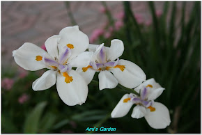 African Iris