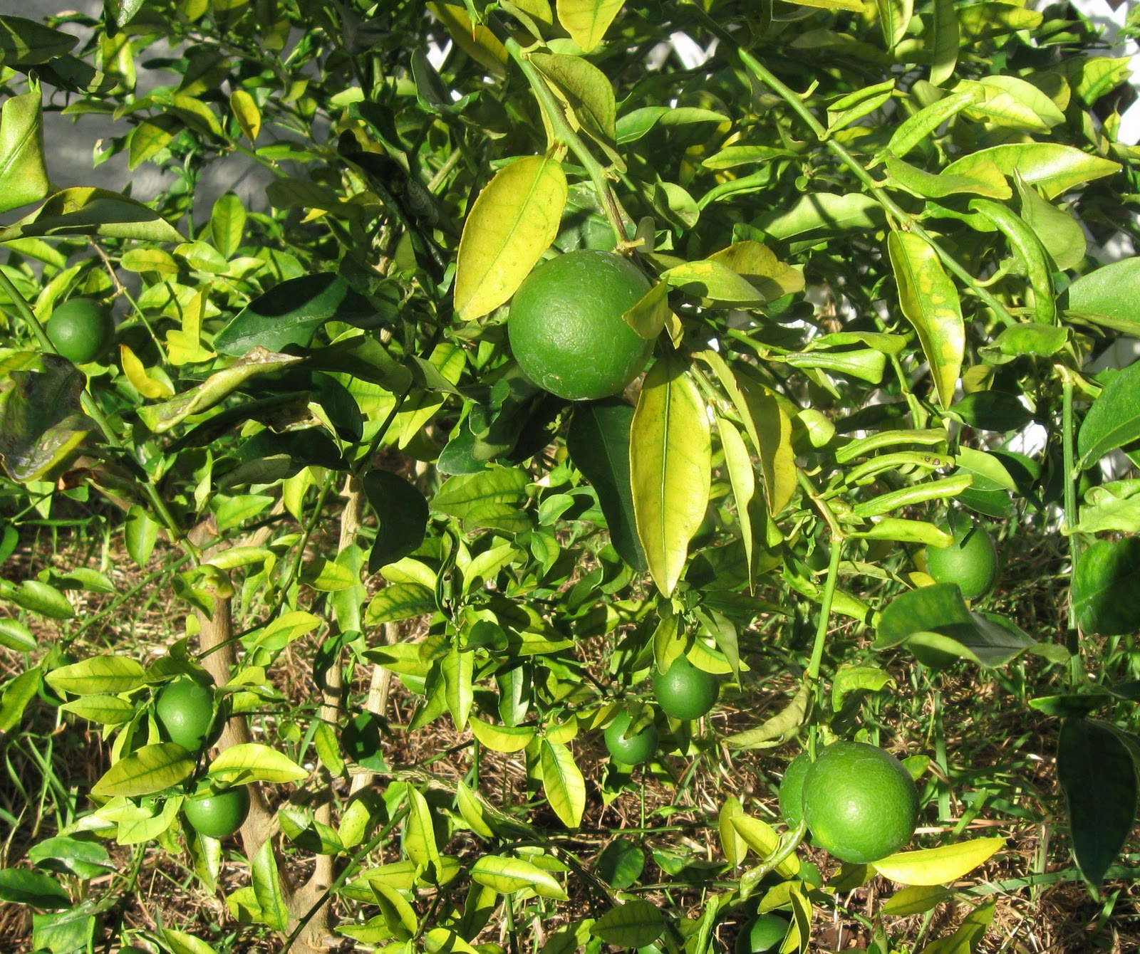 The Soap Artist: Tropical fruit trees