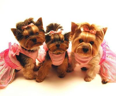 Yorkitas modelo de ropa canina! Paris+Noel%3B+Bella+LaRue%3B+Madeline+Monet+y+Lili+Patou+perritas+modalos+yorky+moda+canina+2