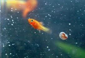 El acuario tropical y el de agua fria cuidado de los for Cuidados acuario agua fria
