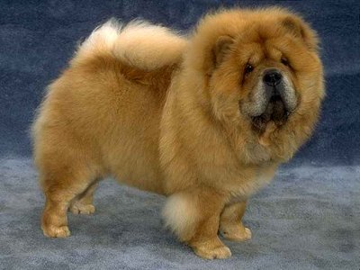 Black Chow Chow Lion Cut Chow chow dogs