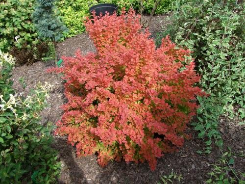 Orange Rocket Barberry in Winter http://canadiangardenjoy.blogspot.com/2011/02/lust-list-for-shrubs-and-question.html
