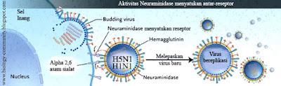 penyakit flu burung atau flu babi pada manusia gambar 2