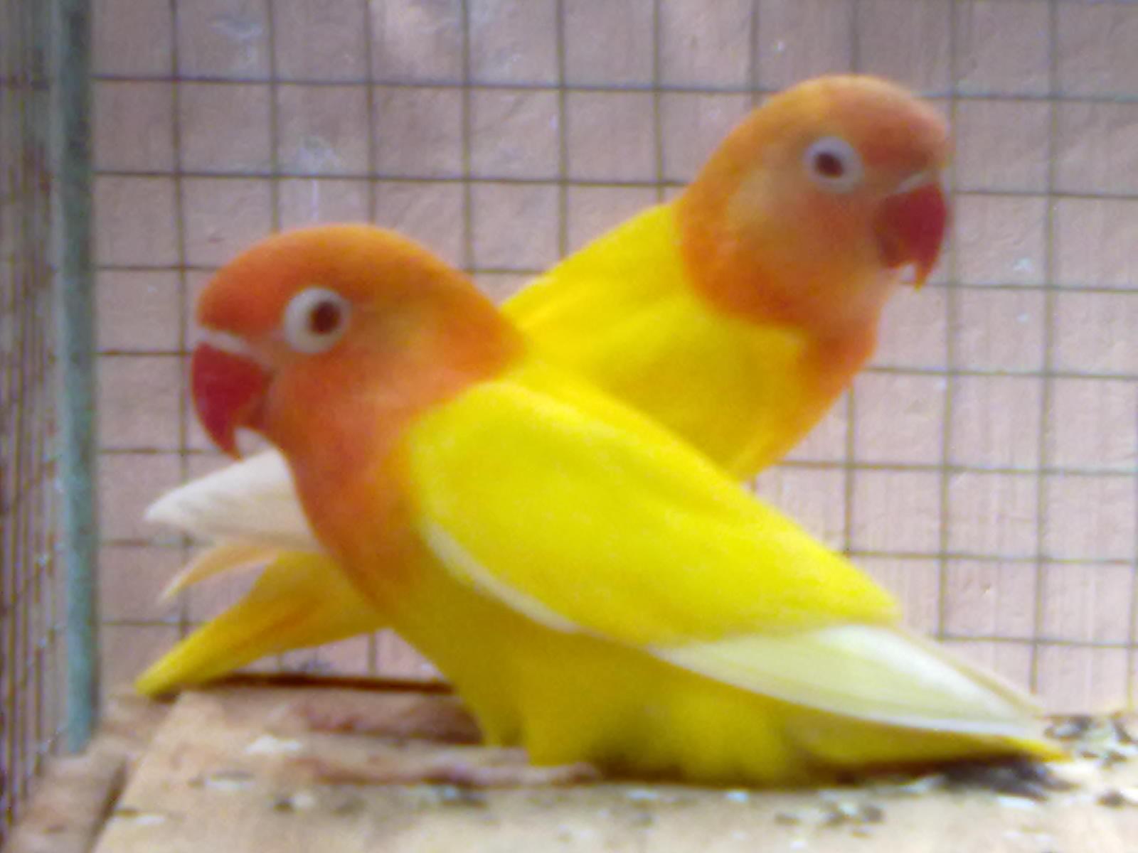 juragan love bird sepasang lutino mata merah siapan induk