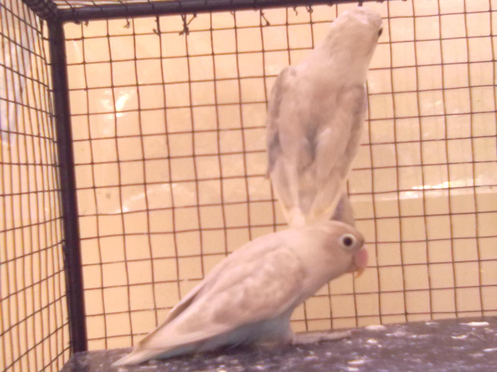 juragan love bird induk pastel putih