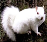 Superinteressante esquilo branco