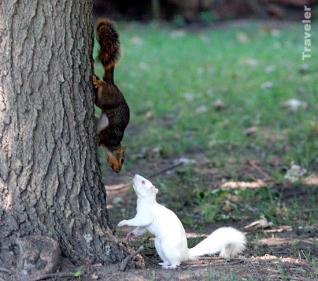 esquilo branco Superinteressante