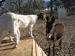 Goats on their toy ward built and Annette the donkey