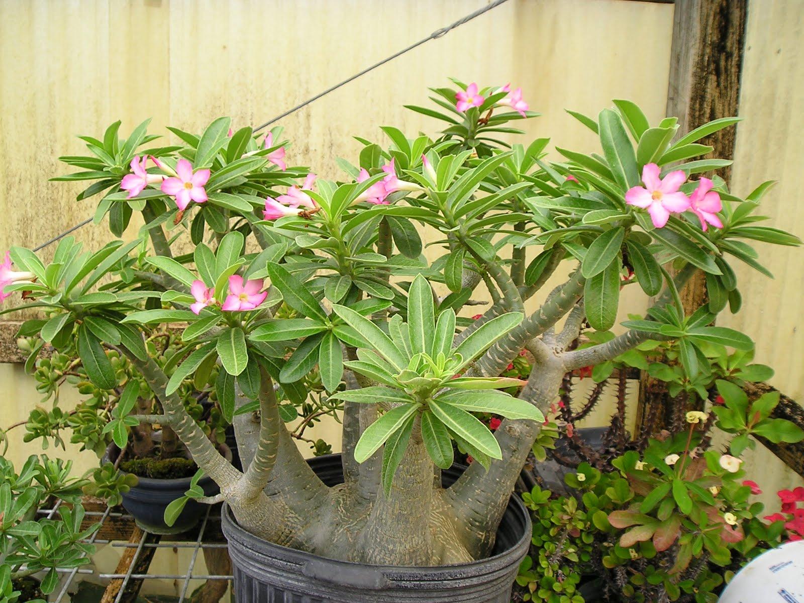 Plant Daddy Adenium Arabicumaka 39Stumpy39
