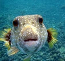 Afbeeldingsresultaat voor kogelvis