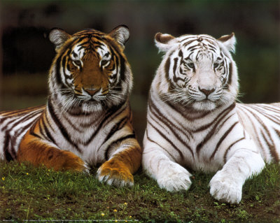 [76081~Tigres-de-Bengale-Affiches.jpg]