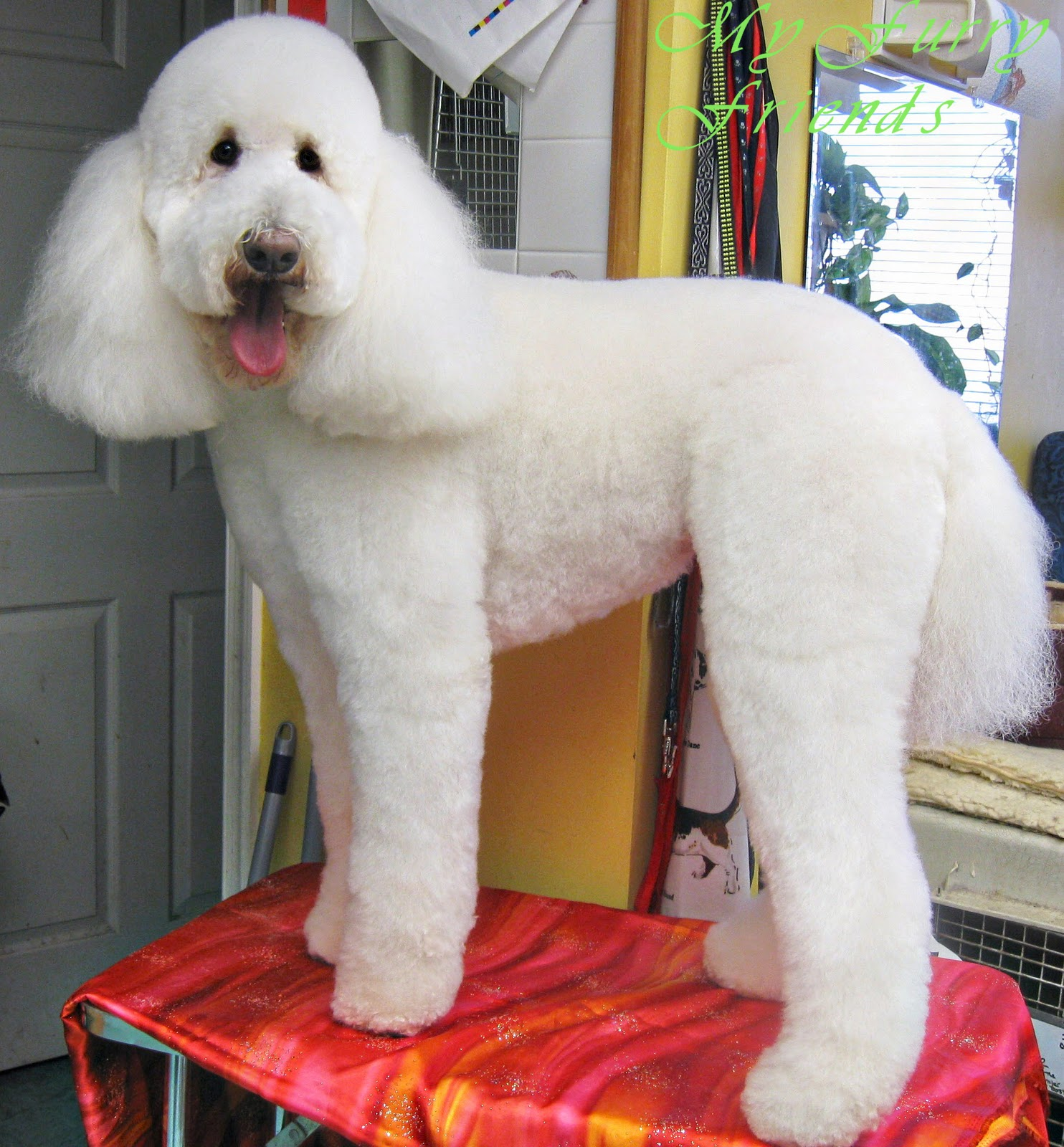 Standard poodle haircuts or of unless soft haircuts standard poodle - Both Labradoodles Get Lamb Clips