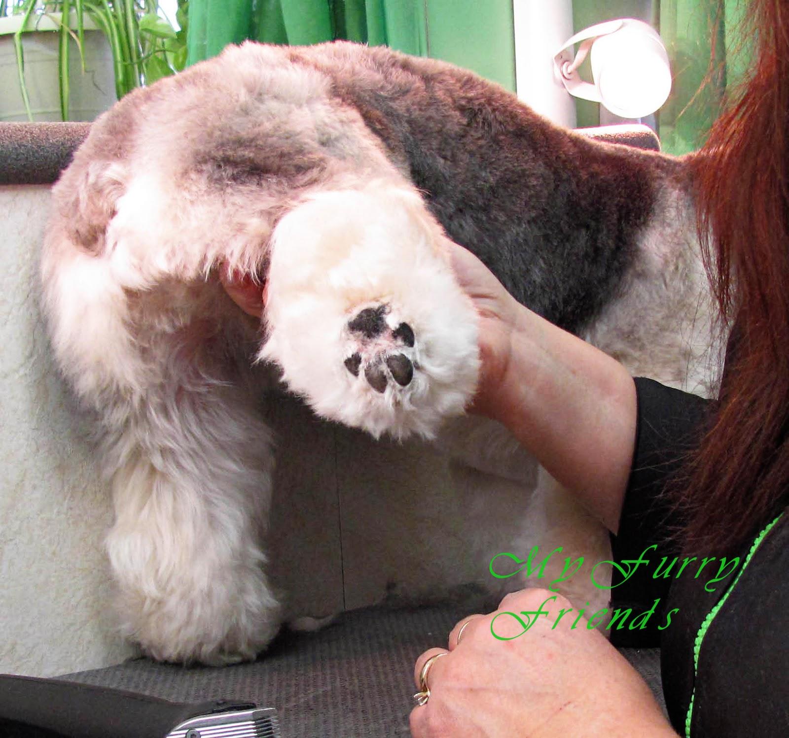 Dog Grooming Scissoring Legs