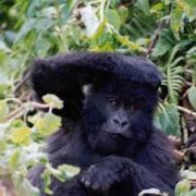 Save The Gorillas: Diane Fossey's Gorilla Fund