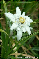 Floare de colt - o specie protejata de lege