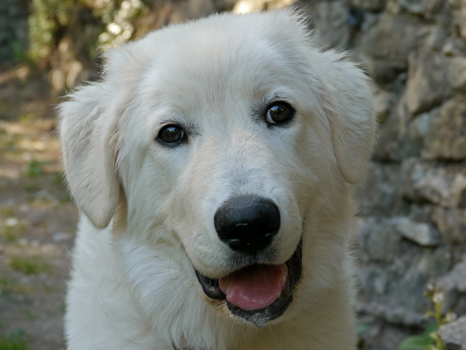 RIVIERA DOGS: Siena, the Maremma Sheepdog