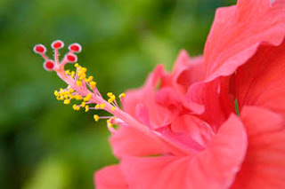 Red, pink flowers and shrubs of the Bahamas