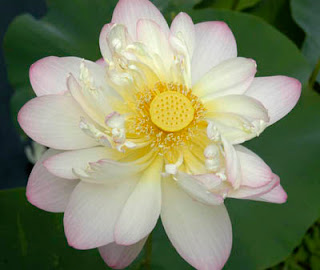 exotic Nelumbo Nucifera in richmond virginia