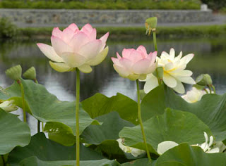 lotus flowers in Lewis Ginter Botanical Garden