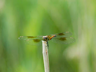 Damselfly at Camp Merryelande