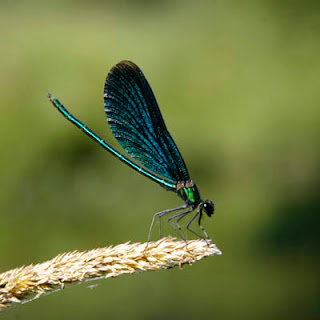 blue damselfly green dragonfly