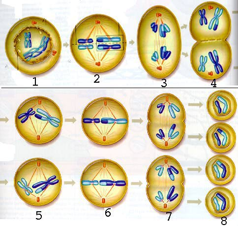 Picture Of Meiosis