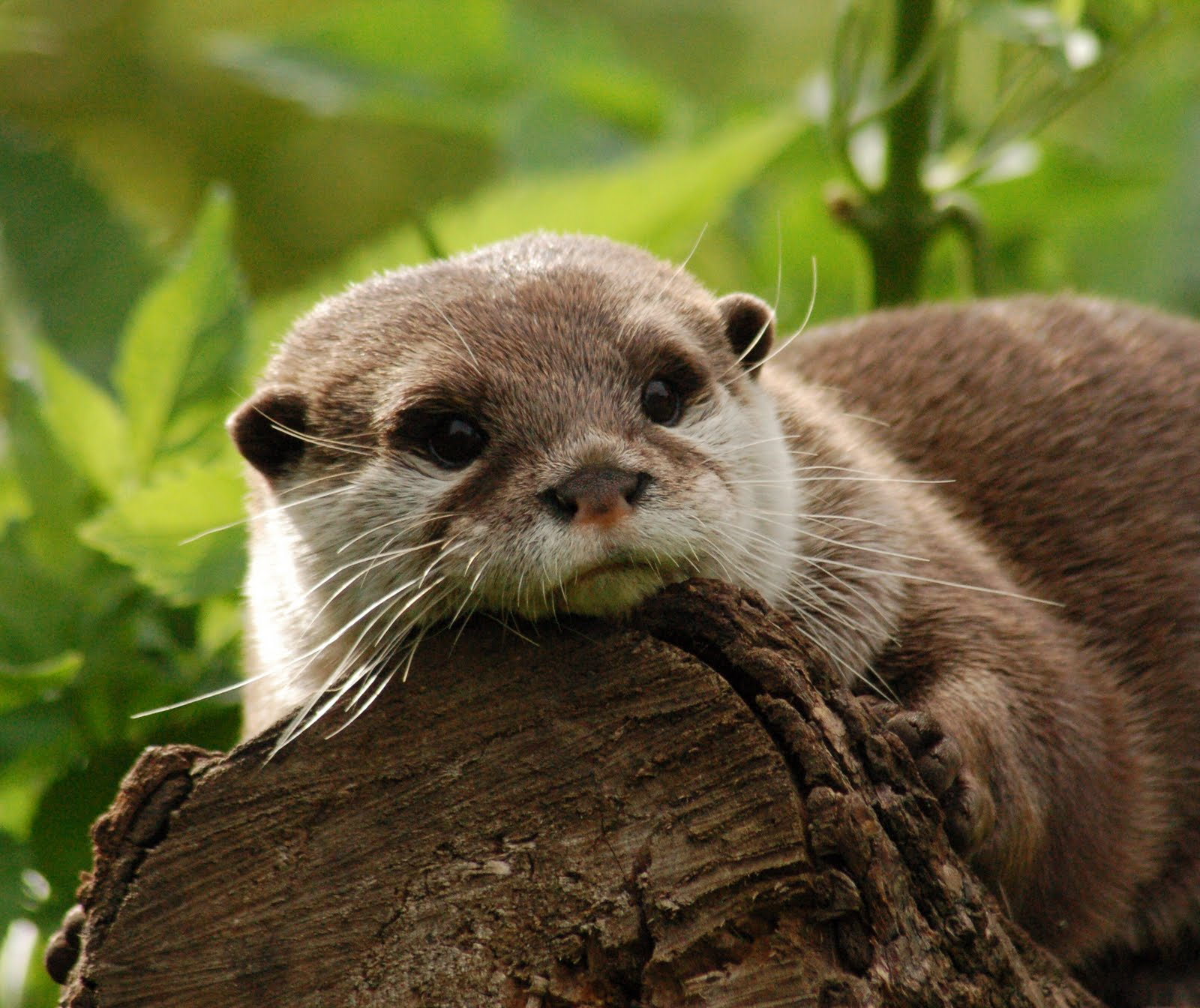 oriental small clawed otter The asian small-clawed otter is the smallest otter in the world when fully grown, these otters measure approximately 09m from nose to tail tip and weigh up to 5kg, compared to a giant otter which can reach lengths of up to 17 meters.
