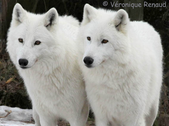 White Wolves White Wolf Blue Eyes Face