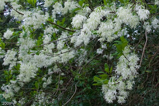 The Woodlands Texas Trees Many White Blooms Many Species