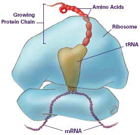 Ribossoma aminoácidos, Ribosome, aminoacids, mRNA, tRNA