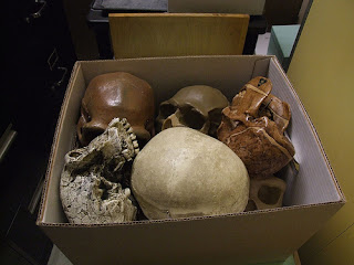 Evolução Humna Crânios, Human Evolution Skulls