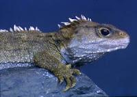 Tuatara Sphenodon punctatus guntheri