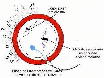 fecundação espermatozoide ovulo sperm egg