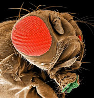 mosca da fruta (fruit fly)