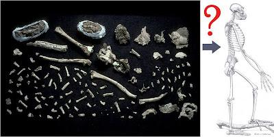 ardi Ardipithecus ramidus bones