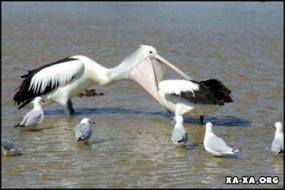 Funny and Unpredictable pelicans