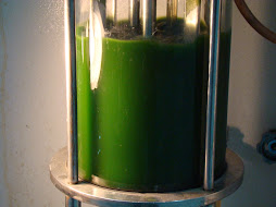 Algae in Bioreactor