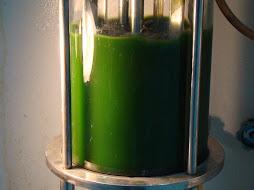 Algae in Bioreactor