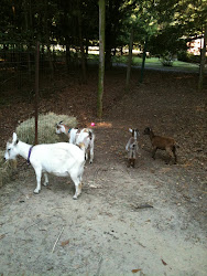 Lucy (the herd queen white pygmy goat