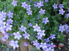 campanule bleue