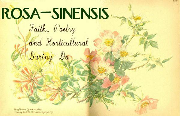 rosa-sinensis