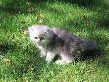 Je vous présente Kalie, notre belle petite chatte, un persan pewter maintenant âgée de 5 ans.