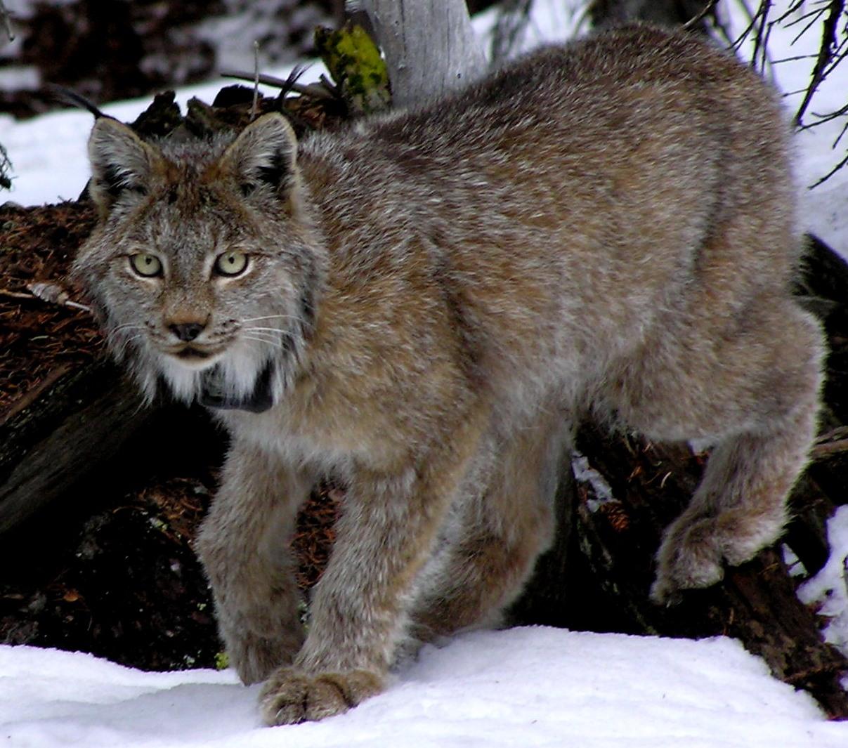 native canadian animals