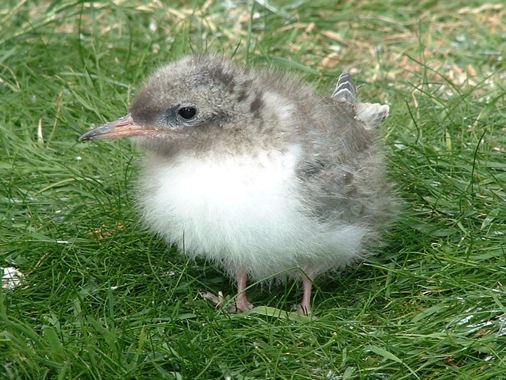 baby arctic tern