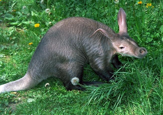 [Image: aardvark.jpg]
